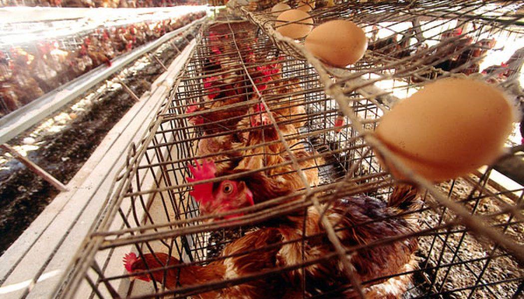 Por qué los veganos no comen huevos.