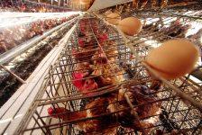 Por qué los veganos no comemos huevos.